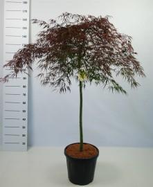 Клён веерный пальмолистный Гарнет 170см