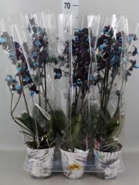 Черная орхидея с голубой серединкой