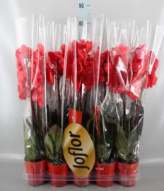 красная орхидея 'Страсть'