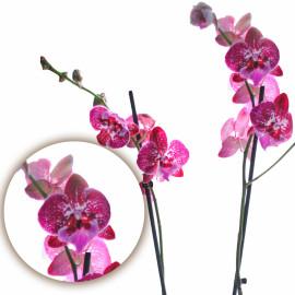 Орхидея мутант с большой губой