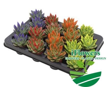 Эхеверии 5,5 цветные