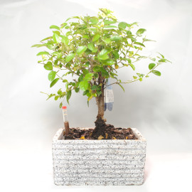 авторолив дерево образный