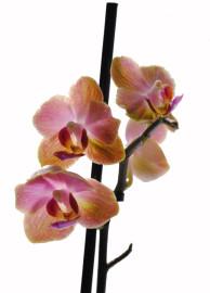 оранжевая орхидея мутант