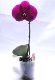 Карликовая-орхидея