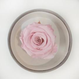 Стабилизировання роза розовая св