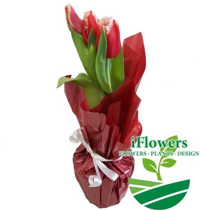 Красные-с-белым-тюльпаны