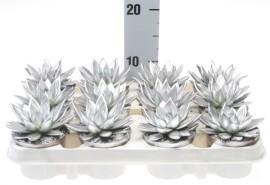 ехеверия реинбоу серебро 8х10