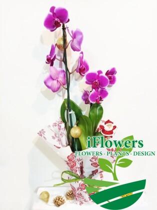 Орхидея фаленопсис на подарок
